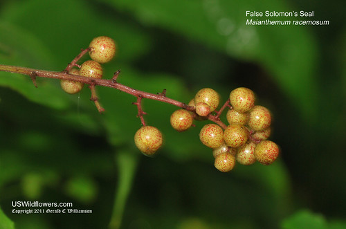 False Solomon's Seal Berries - Maianthemum racemosum