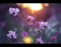 blinded by the light (fotogamie) Tags: flowers autumn light summer sun plant flower nature backlight sunrise dof bokeh fotogamiede