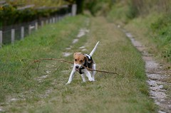 Sun [stick is too long] (alfio.biz) Tags: dog sun beagle dogs cane puppy puppies nikon 5100 nikkor beagles cucciolo cani cuccioli d5100