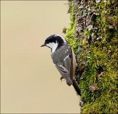 Coal tit (Margaret S.S) Tags: bird scotland nikon tit perch lochwinnoch coaltit margaretssweeny
