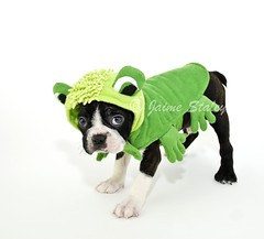 Boston Terrier in a Frog Costume (Jaime401) Tags: autumn blackandwhite dog pet baby pets holiday silly cute green fall halloween animal puppy bostonterrier mammal photography costume october funny calendar fuzzy sweet small humor young canine dressedup frog suit card copyspace breed behavior domesticanimals affectionate picnik westhighlandterrier facialexpression apologetic alertness purebreddog