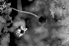 dancing in the nude (Super G) Tags: california blackandwhite bw flower film forest 35mm bravo echinacea doubleexposure coneflower nikonn80 bigbasin bouldercreek huckleberry selfdeveloped trix400tx 50mmf8 d7610min68d