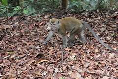 Long-tailed Macaque in Bukit Timah