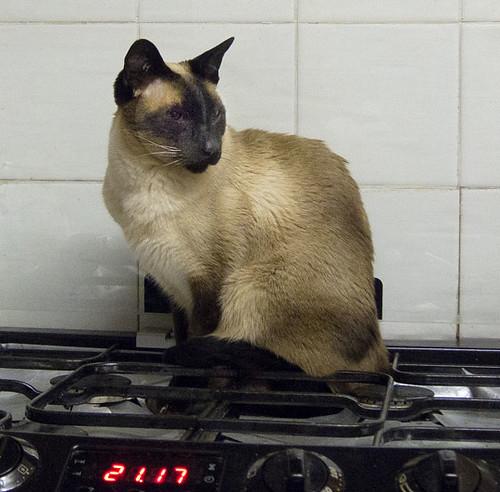 Cooker cat