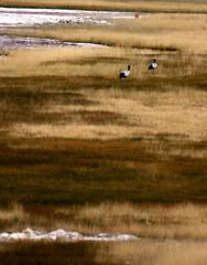 Black Necked Crane (Prabhu B Doss) Tags: india bird grass nikon crane wildlife endangered pangong travelphotography jammuandkashmir 2011 bikeexpedition incredibleindia d80 chushul blackneckedcrane prabhub nyoma prabhubdoss zerommphotography 0mmphotography
