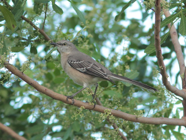 Northern Mockingbird 20111024