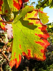 Autumn is Hanging Around! (picaddict) Tags: autumn fall herbst weinblatt vineleaf