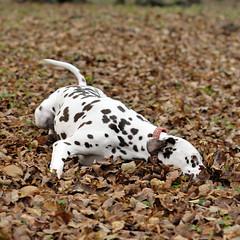 ST3_1559 (lucagusme) Tags:  dog dogs cane luca tina cani chiavenna valchiavenna dalmatiner dalmacien gusmeroli daumontmessageinabottle lucagusmeroli lucagusmeroli