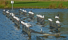 Gulls on Yeadon Tarn by Tim Green aka atoach