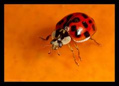 Pumpkin Inspection.... (Moneycue) Tags: autumn red orange black macro fall halloween netherlands closeup canon bug insect pumpkin october beetle 7d ladybird ladybug lieveheersbeestje mpe65 pompoen holdmenow moneycue
