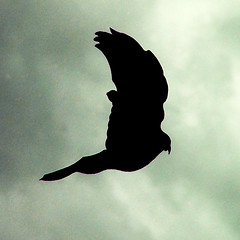 flying high (henk hessel photography) Tags: sky bird silhouette clouds wings ringexcellence dblringexcellence tplringexcellence