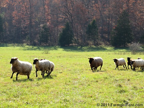 Rounding up the sheep surrounded by autumn color 7 - FarmgirlFare.com