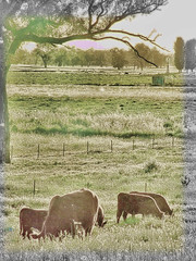 A Country Sunset (debarazzi2009) Tags: trees sunset windmill cows nsw watertank topaz albury