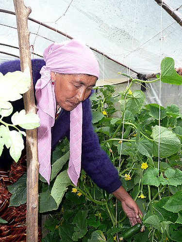 A woman farmer attends to her greenhouse
