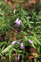 三保市民の森のツリガネニンジン(Flower, Miho Community Woods)