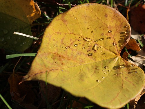 yellow redbud leaf with droplets