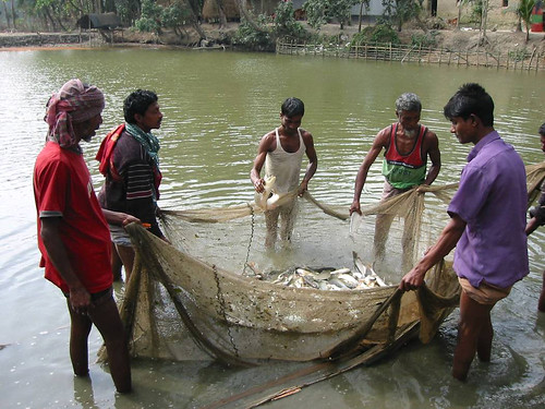 Fish pond harvest, Bangladesh. Photo by WorldFish, 2008