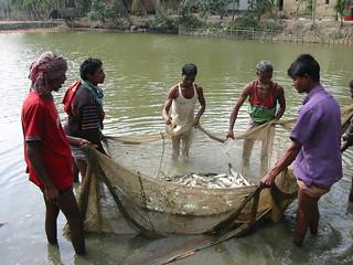 Fish pond harvest, Bangladesh. Photo by WorldFish, 2008
