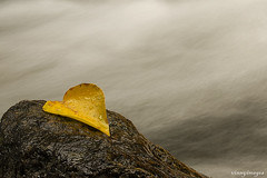 One leaf and one rock (Vinnyimages) Tags: fall yellow washington stream fallcolor washingtonstate leavenworth leavenworthwashington leicas2 vinnyimages wwwvinnyimagescom leica70mm leica37mp