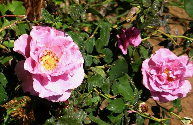 Roses in Garden Fall