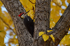 Male Pileated Woodpecker (Dryocopus pileatus) (Photography Through Tania's Eyes) Tags: canada tree bird nature leaves animal photography photo woodpecker nikon photographer bc image britishcolumbia okanagan wildlife branches photograph cottonwood summerland dryocopuspileatus okanaganvalley pileatedwoodpecker cottonwoodtree copyrightimage malepileatedwoodpecker okanaganlakeprovincialpark taniasimpson