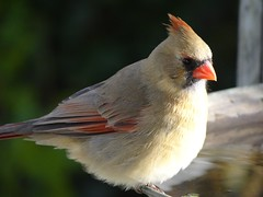 DSC01279 (rhombidec) Tags: female cardinal baltimore sonydschx100v