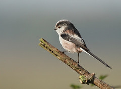 Long Tailed Tit (Aegithalos caudatus) [Explored] (bojangles_1953) Tags: bird nature canon photo wildlife 7d longtailedtit aegithaloscaudatus specanimal
