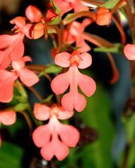 橙黃玉鳳蘭 Habenaria rhodocheila 04