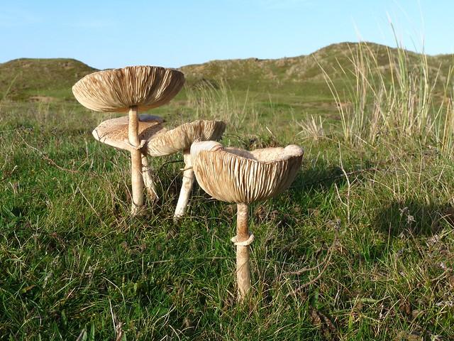 25305 - Llangennith Burrows Fungi