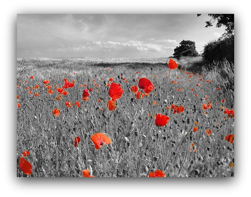 norfolk poppy field