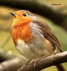 Etherow Robin Portrait (claylaner) Tags: park robin cheshire erithacusrubecula country ngc stockport etherow passerine compstall canon60d