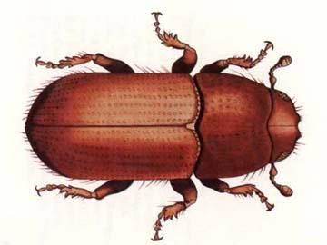 Southern Pine Beetle (U.S. Forest Service graphic)