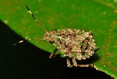 Pentatomid Shield Bug Nymph (John Horstman (itchydogimages, SINOBUG)) Tags: macro insect china bug hemiptera nymph pentatomidae true itchydogimages sinobug yunnan shield entomology