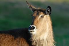 Gazelle at Wild Animal Park in Escondido-06 11-12-07