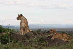 xxxMasai Mara 609 (scandihooligan) Tags: wild animals kenya safari mara nakuru masai masaimara wildanimals lakenakuru