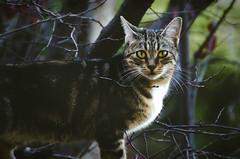 the wild (thisisforlovers) Tags: wild tree cat photography chat bokeh gato desenfoque árbol tele ramas salvaje nikond7000 andreadorantes
