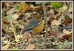 Orange-headed Ground Thrush (Zoothera citrina cyanota ) (Raghuvir solanki) Tags: thewonderfulworldofbirds allofnatureswildlifelevel1