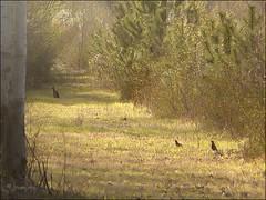 Bois d'ami ... (Journ'obs...) Tags: ardennes arbres paysage printemps lapin faune grives panasoniclumixdmcfz18 boisdami