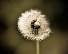 (Michad90) Tags: light plant macro film beautiful dof minolta bokeh dandelion pusteblume x300s