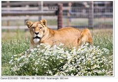 2011_06_27_3853 (John P Norton) Tags: fauna lion f80 lioness aperturepriority 1800sec ef100400mmf4556lisusm canoneos60d focallength560mm yorkshirewildlifepark copyright2011