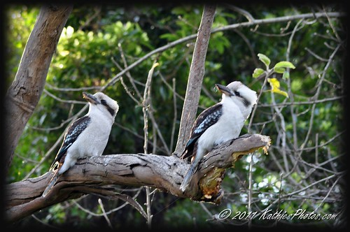 183-365 Things are looking up - Kookaburras