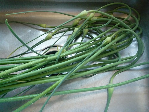 garlic scapes, just in from the garden and rinsed