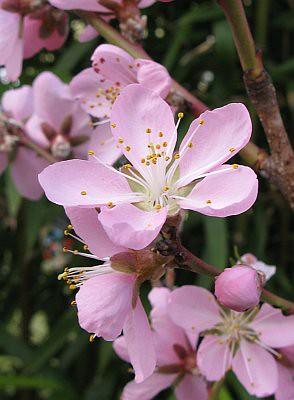 Garten-Koch-Event Juli 2011 - Pfirsichblüte