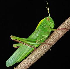 Citrus Locust (Chondracris rosea) (John Horstman (itchydogimages, SINOBUG)) Tags: macro insect china orthoptera grasshopper green black itchydogimages yunnan tumblr lightbox fbe citrus locust acrididae entomology