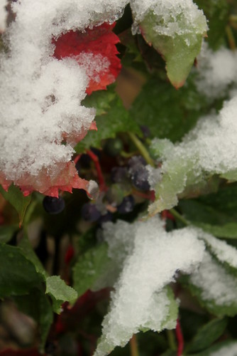 Snowy grapes