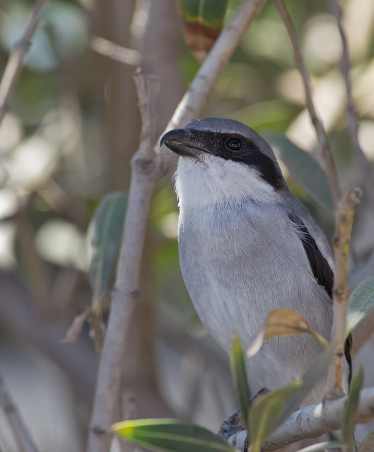 Southern grey shrike5