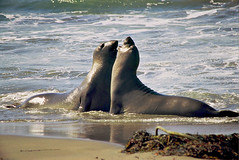 Sparring Juvenile Elephant Seals ~ Point Piedras Blancas, Central Coast/CA (Wolverine09J) Tags: nature top photographers environment splash naturesbest elephantseals musictomyeyes marinemammals flickrnature fantasticnature welovewildlife freenature bestofanimals goldwildlife worldwidenature worldtrekker novaphoto screamofthephotographer naturespotofgold brigettes worldnatureandwildlifegroup wildlifeshots wildlifeaward addictedtonature naturesprime aplaceforgreatphotographers mygearandme mygearandme1 naturespotofgoldlevel2 amazingwildlifephotography blinkagainforinterestingimages brigettesbeautifulnaturegallery babirdsandanimals sjohnsontintiansfauna californiawildlifecentralcoast piedrasblancasnaturalarea brigettesnaturestopphotographers