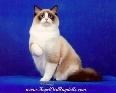 Quadruple Grand Champion Pounce DeLeon, a seal bicolor ragdoll boy at AngelGirls (AngelGirl Ragdolls) Tags: ourwonderfulquadruplegrandchampion pouncedeleon angelgirls ragdolls kittens cats beautiful virginia maryland quadruple grand champion pounce deleon seal bicolor cat dc longhair eastcoast respected sealtortie fluffy blueeyes angel handsome angelgirlragdoll friendly snuggly angels washingtondc healthy famous kitty sealkitten thebestragdolls stunning usa thebestbreederofragdolls thebestbreeder texas washington supremegrandchampion angelgirl tica catsaward winner ragdoll cfa wwwangelgirlragdollscom white winningchampionquadruple angelgirlragdolls kitten kitties gatos pets indoor furry cute gorgeous loving pet cuddly floppy poncedeleon