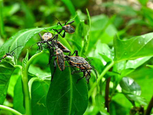 IMG_1549 Insects on Kangkung