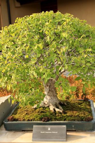 欅 Keyaki (Japanese Zelkova) - 盆栽美術館 - bonsai museum